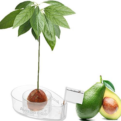AvoSeedo Kit Cultivo de Aguacate en Casa - Uso Interior / Exterior o Para la...