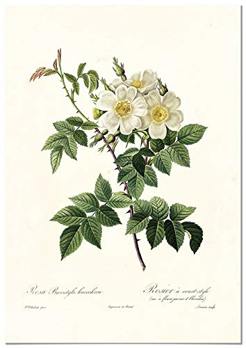 Panorama Póster Rosa Blanca Vintage 35x50cm - Impreso en Papel 250gr - Láminas...